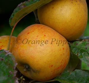 Norfolk Royal Russet apple tree