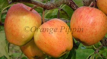 Pinova apple tree