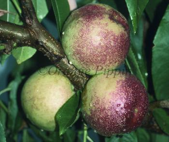 Lord Napier nectarine tree