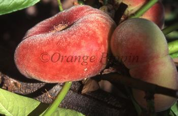 Saturn peach tree