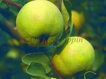 Serbian Gold quince tree