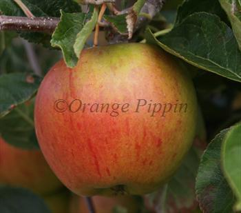 Cox's Orange Pippin apple tree