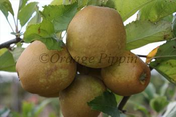 Herefordshire Russet apple tree