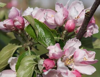 Chivers Delight apple tree blossom