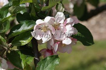 Jupiter apple tree blossom