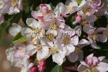 Malus Golden Hornet crab-apple tree blossom