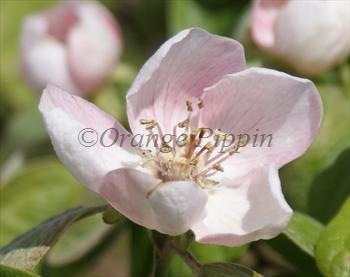 Meech's Prolific quince tree blossom
