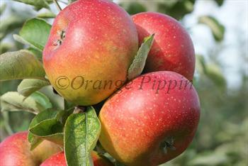 Court Pendu Plat apple tree
