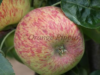Duchess of Oldenburg apple tree