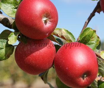 Red Windsor Apple Trees For Sale Buy Online Friendly