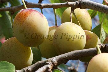 Oullins Golden Gage plum tree