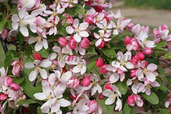 Malus Floribunda crab-apple tree