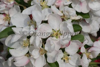 Malus Golden Gem crab-apple tree