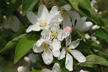 Malus John Downie crab-apple tree