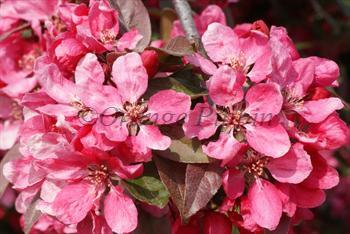 Malus Directeur Moerlands Profusion Improved crab-apple tree