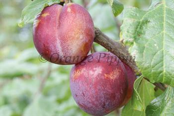 Excalibur plum tree