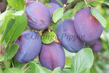 Valor plum tree