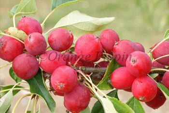 Malus Pink Glow crab-apple tree