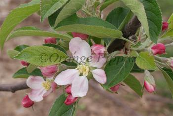 Cornish Gilliflower apple tree blossom