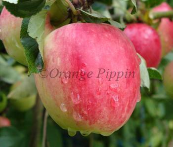 red apple fruit tree. katy apple trees red fruit tree