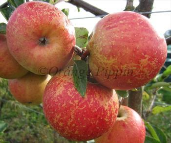 Rubinette Rosso apple tree