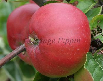 Tom Putt cider apple tree
