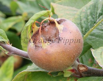 Royal medlar tree