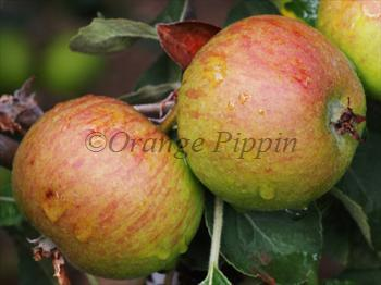 Stoke Red cider apple tree