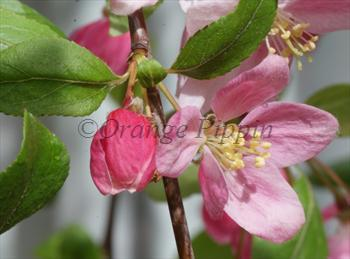 Malus Louisa crab-apple tree