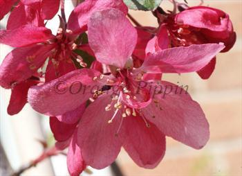 Malus Royal Beauty crab-apple tree