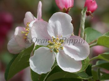 Malus Butterball crab-apple tree