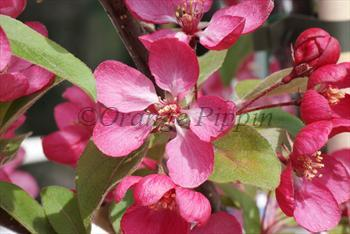 Malus Indian Magic crab-apple tree