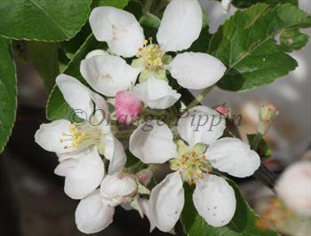 Malus Rosehip crab-apple tree