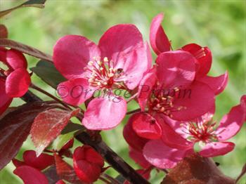 Malus Scarlett crab-apple tree
