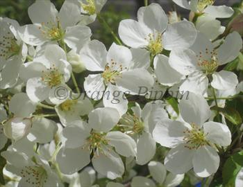 Malus Wedding Bouquet crab-apple tree