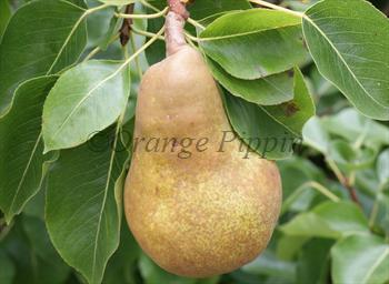 Merton Pride pear tree