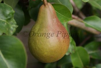 Durondeau pear tree