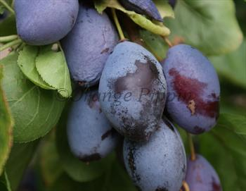 Purple Pershore plum tree