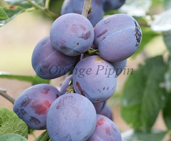 Edda plum tree