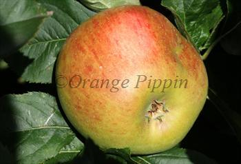 Blenheim Orange apple tree