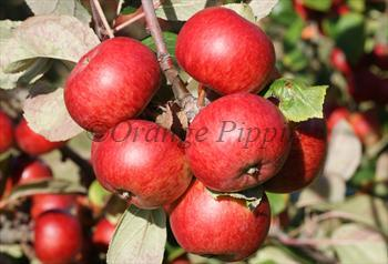 Brown's Apple cider apple tree