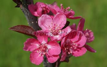 Malus Cardinal crab-apple tree