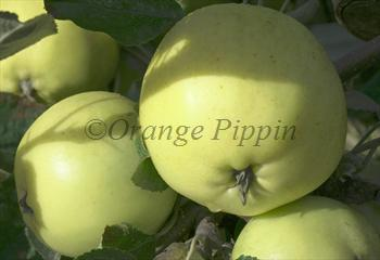 Carlisle Codlin apple tree