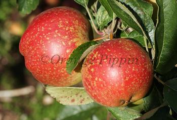 Cornish Aromatic apple tree