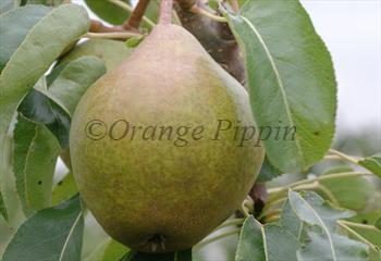 Hendre Huffcap perry pear tree