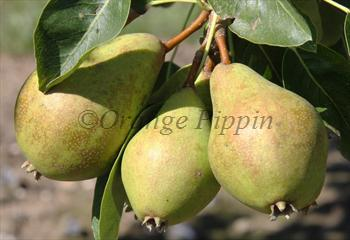 Judge Amphlet perry pear tree