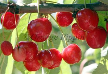 Lapins cherry trees for sale buy online friendly advice for Cherry trees for sale