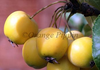 Malus Golden Hornet crab-apple tree