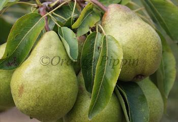 Packham's Triumph pear tree