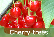Cherry trees for sale